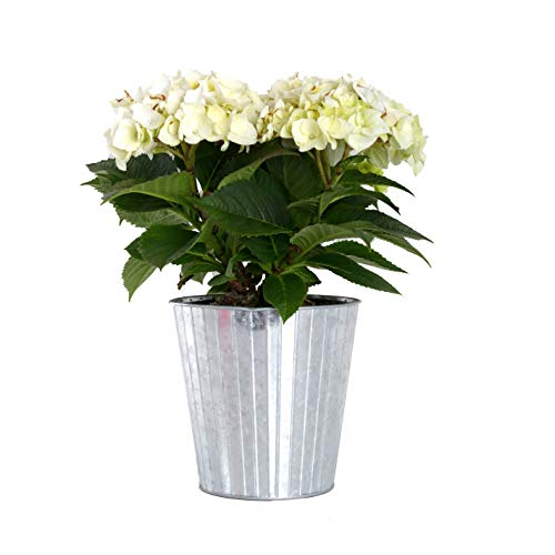 Hydrangea Potted Plant - Plants by Post Gallon Live White Hydrangea in Metallic Tin Pot