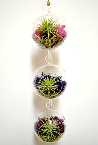 Pixie Glare Hanging Glass Terrariums - Set of Three, With Air Plants, Spanish Moss & Reindeer Moss (Amore)