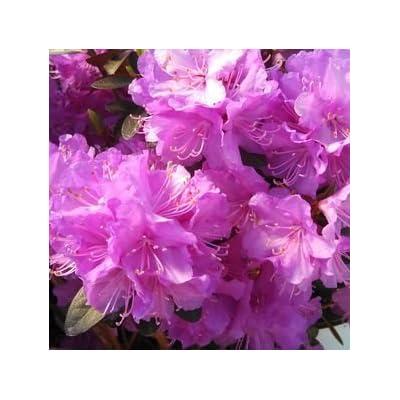 Starter Plant - Rhododendron 'PJM Elite Star' : Garden & Outdoor