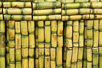 Potseed Las Semillas de germinación: 200pcs caña de azúcar ...