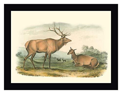 (American Elk and Deer by John James Audubon - 15