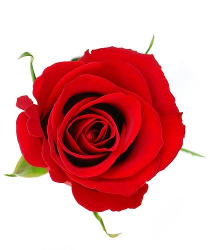 Rose Petals Premium Fragrance Oil, 16 Oz. Bottle