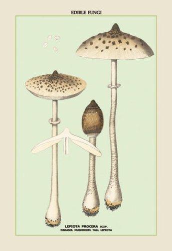 Buyenlarge 04910-3 Edible Fungi - Parasol Mushroom poster