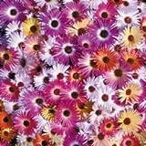 Fiore - Kings Seeds - Confezione Multicolore - Mesembriantemo - Kings Sunshine Mix