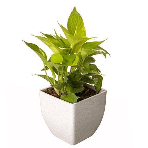 Exotic Green Indoor Oxygen & Air Purifier Plant Golden Pothose In...