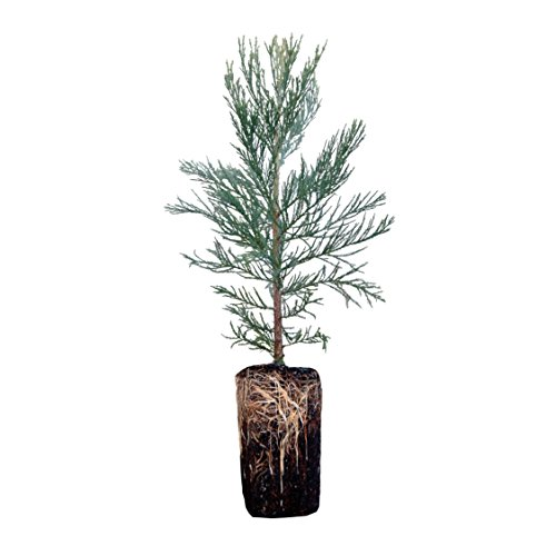 Giant Sequoia | Live Tree Seedling (XL) | The Jonsteen Company ()