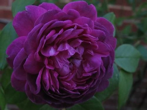 20+ DEEP PURPLE Rose Bush Seeds - Exotic & Beautiful