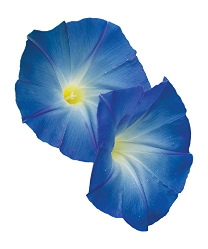 Burpee Heavenly Blue Morning Glory Seeds 150 seeds