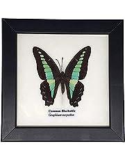 VIE Naturals Echte Ingelijste Taxidermie Vlinder, One Maat, Veelkleurig