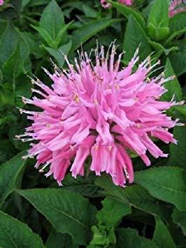 50+ Pink Monarda Bee Balm Flower Seeds / Perennial ()