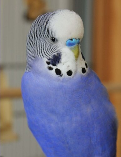Budgie: Notebook with 150 lined pages (Budgerigars Band 1)