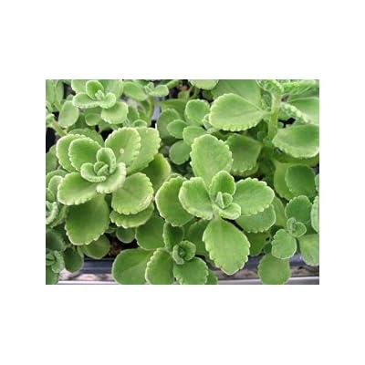 Cuban Oregano - 1 Plant - Plectranthus amboinicus - Mexican mint - Spanish thyme - Mexican thyme - Puerto Rican Oregano : Garden & Outdoor