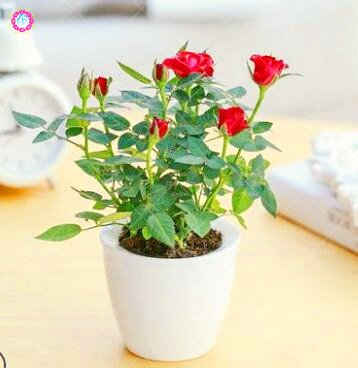 100 PCS Mini Rose Bonsai Miniature Rose Seeds Home Garden Bright Beautiful Potted Flowers Seeds Perennial Balcony Bonsai Plant 3 ()