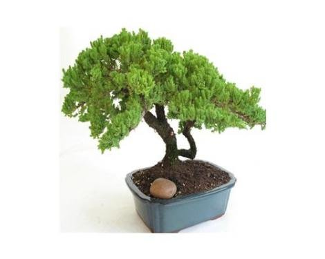 ORDER BY 10 AM PST 12/23 W/ EXPEDITED SHIPPING FOR DELIVERY ON CHRISTMAS EVE Large Juniper Bonsai - Live Plant - Green Gift - Bonsai Tree - Low Maintenance Plant - Ships fast via 2-Day Air by GivingPlants