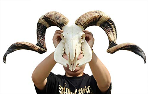 Ram Skull and Horns Wall Sculpture Decor, Creative Pentacle Wall Art, and Longhorn Steer Authentic Ram Skull with Horns Handmade Carved Ram Head Skull Large Curled Horns - Home Decor (Gold)