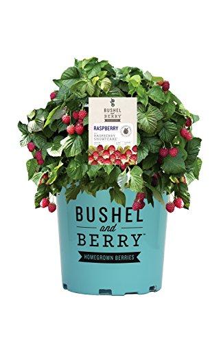 Bushel and Berry - Rubus Raspberry Shortcake (Thornless Raspberry) Edible-rubus, Red Raspberry, #2 - Size Container