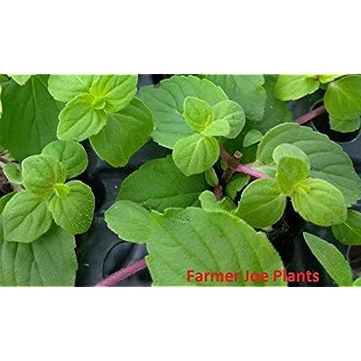 HERB - Mint - Ginger Mint - 6 Starter Plants : Garden & Outdoor