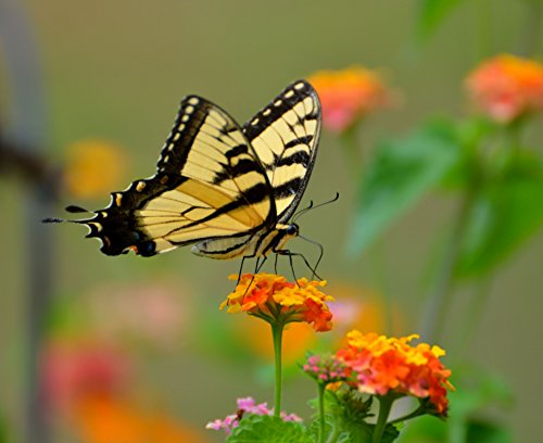 Home Comforts LAMINATED POSTER Tiger Swallowtail Butterfly Animals Poster Print 24 x 36 -
