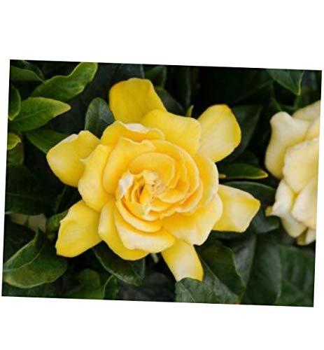 WAZZ Live Plant Gardenia Jasminoides (Golden Magic) - RK255