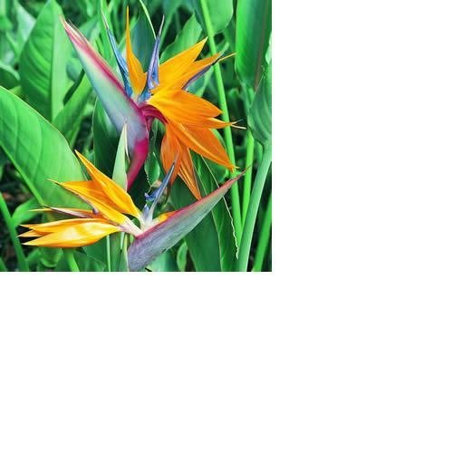 Bird of Paradise Starter Plant Hawaiian – 4 Pack #E4 by Discount Hawaiian Gifts