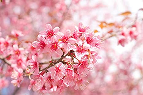 How To Grow A Flowering Cherry Tree Lovethegarden