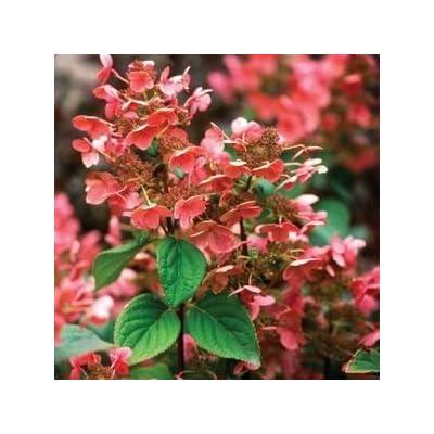 Hydrangea-Quick-Fire - QT Pot (Shrub) : Garden & Outdoor