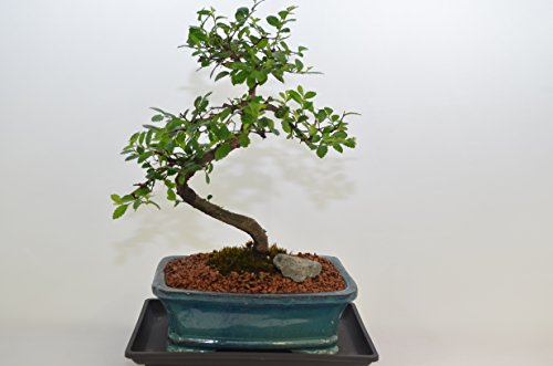 Chinese Tree Elm Bonsai (Chinese Elm, S Shape, 8 Years old,Free Watering Tray.)