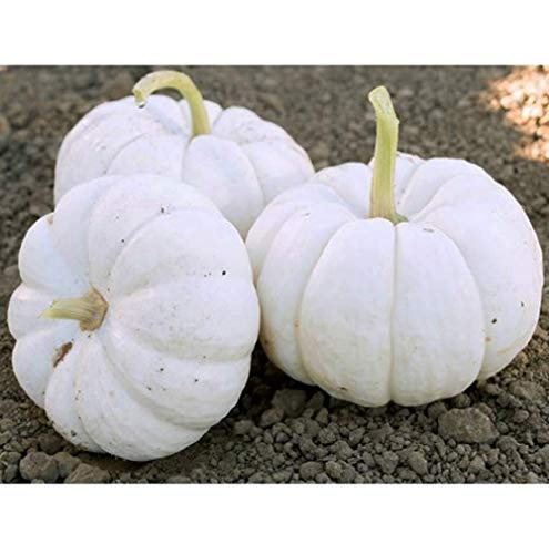 - David's Garden Seeds Pumpkin Mini Gooligan LY9163 (White) 25 Non-GMO, Hybrid Seeds
