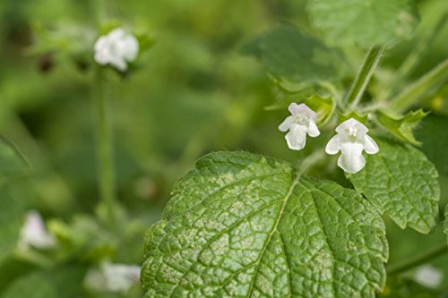 778mg Lemon Balm Seeds ~1000 Count ~Anti Stess Herb ~Refreshing Flavor and (Refreshing Scent)