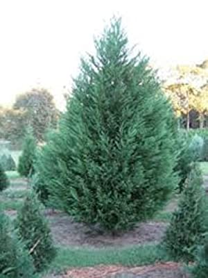 Murray Cypress, 10 plants, upright evergreen plant, plants