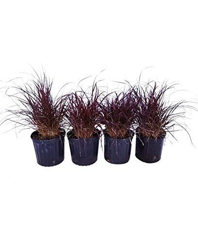 (PlantVine Pennisetum setaceum 'Cupreum', Fountain Grass Red - Large - 8-10 Inch Pot (3 Gallon), Live Plant - 4 Pack)