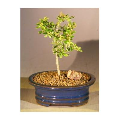 Bonsai Boy's Flowering Tropical Boxwood Bonsai Tree - Small neea buxifolia: Garden & Outdoor
