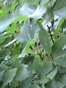 5 Sassafras Tree Seeds USED 2 MAKE ROOT BEER, LEAVES TO MAKE JAMBALAYA
