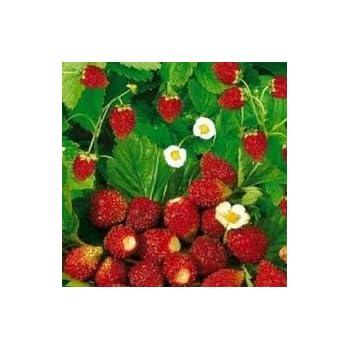 Amazon.com: Regina alpina de fresa (Fragaria Vesca) Gran ...