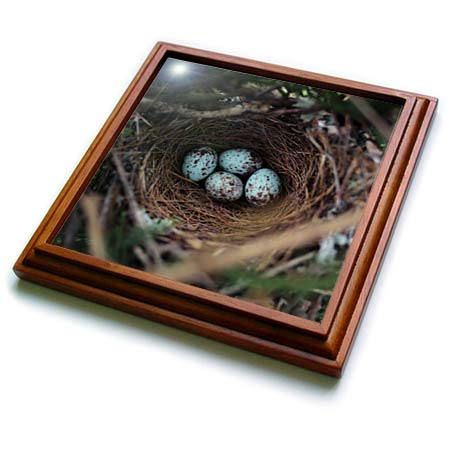- 3dRose Stamp City - birds - Photograph of a mockingbird nest with four eggs in our Leyland Cypress - 8x8 Trivet with 6x6 ceramic tile (trv_290762_1)