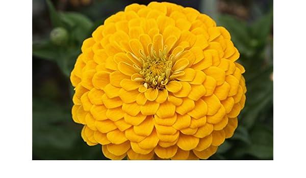 Zinnia com/ún con flores de dalia Canary Bird semilla