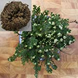 RESURRECTION PLANT Live! Rose of Jericho Dinosaur Fern Miracle Air Prehistoric