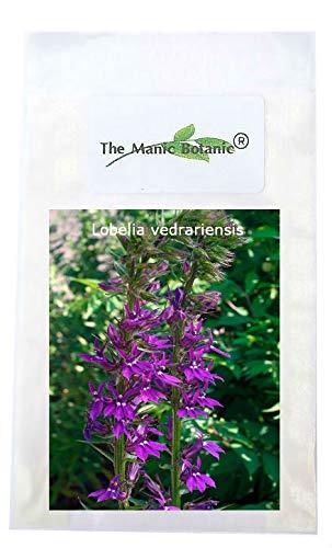 Hardy Perennial Seeds Lobelia Vedrariensis Purple Cardinal