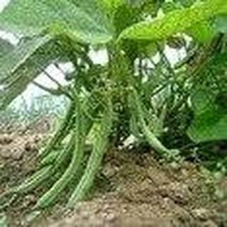 25 Seeds Green Bean Plant, Tenderette Bean (Phaseolus vulgaris) Garden Vegetable