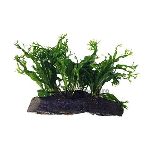 Microsorum Windelov Java Fern Lace Live Aquatic plant on Driftwood for aquarium freshwater fish tank by greenpro
