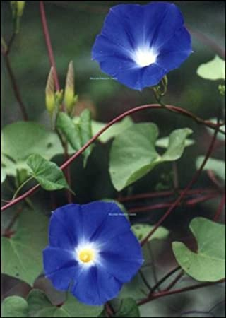 Mountainmeadowseeds Heavenly Blue Morning Glory Flowers 50 Seeds