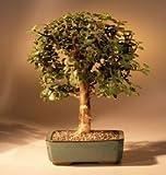 Bonsai Boy's Baby Jade Bonsai Tree - Medium Portulacaria Afra by Bonsai Boy