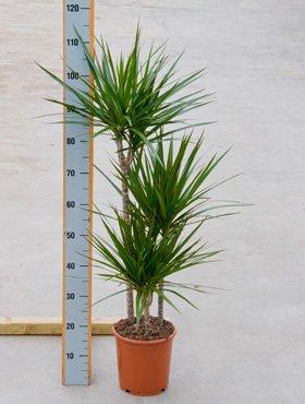 Drachenbaum, Dracaena marginata, ca. 115 cm, große Zimmerpflanze, 21 cm Topf