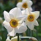 5 Bulbs, Daffodil Pheasants Eye, Poeticus Narcissus VAR Recurvus Fresh