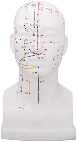 66fit Akupunkturmodell des Kopfes – Druckpunkte und Meridiane