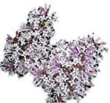 'Miss Kim' Lilac- Syringa pubescens subsp. patula - Hardy Established Roots – One Trade Gallon - by Growers Solution