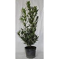 Laurel (Maceta 19 cm Ø) - Planta viva
