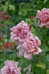 'Albertine', Rambler-Rose in A-Qualität Wurzelware 'Albertine' Rosen-Union