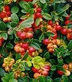 Vaccinium vitis-idaea 'Koralle' - Lingonberry, Dwarf