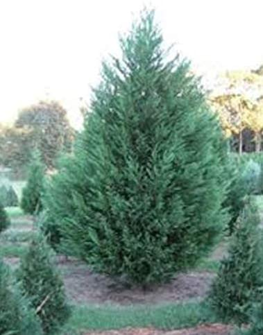Amazon Com Murray Cypress Five Plants Upright Evergreen Plant